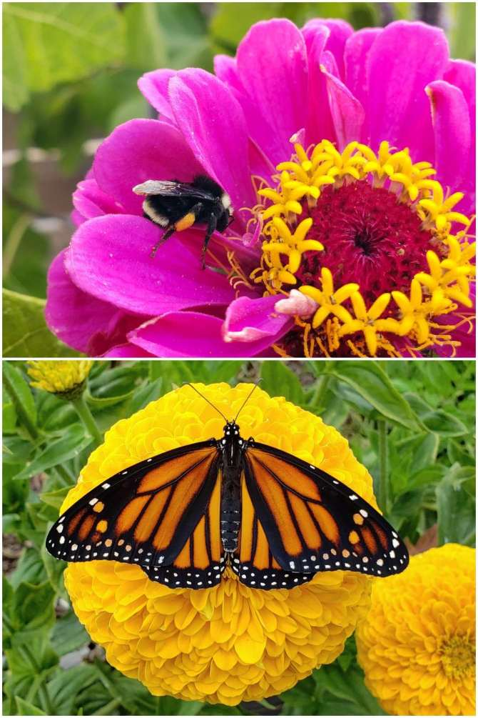 Two close up images of zinnia flowers. One is a large yellow flower with full petals, and a monarch butterfly resting in the middle with it's orange, black and white wings open. The other image is a close up of a pink zinnia flower with a bumble bee resting on the petals near the middle, with pollen on the flower and its legs.
