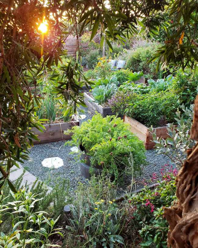 Tucked away underneath a tree, the image is pointing towards a garden full of edible food and perennials. The sun is setting in the background, showing an orange globe beyond the trees foliage. There are plants in almost all ground space aside from the gravel walkways, lined with stone pavers. This image shows a shrouded, protected area for wildlife to seek cover or shelter, which is essential for a certified wildlife habitat.