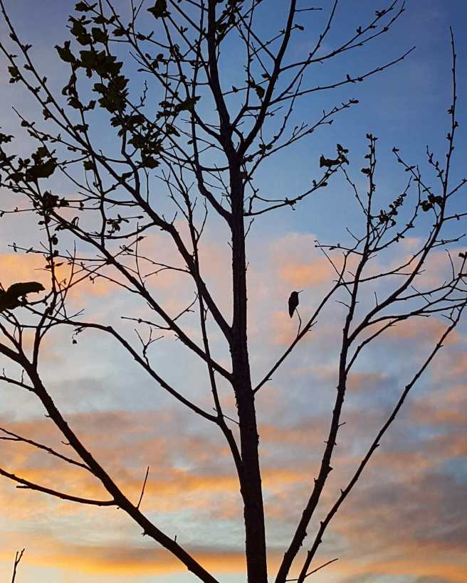 Part of the crown of a large California Sycamore is captured in the evening dusk. It is either the beginning of spring or winter by the lack of foliage and there is a hummingbird perched on a small branch of the tree. The sun is dipping below the horizon in the background so the tree and bird are dark and shaded compared to the sky which is blue with pink and orange clouds.