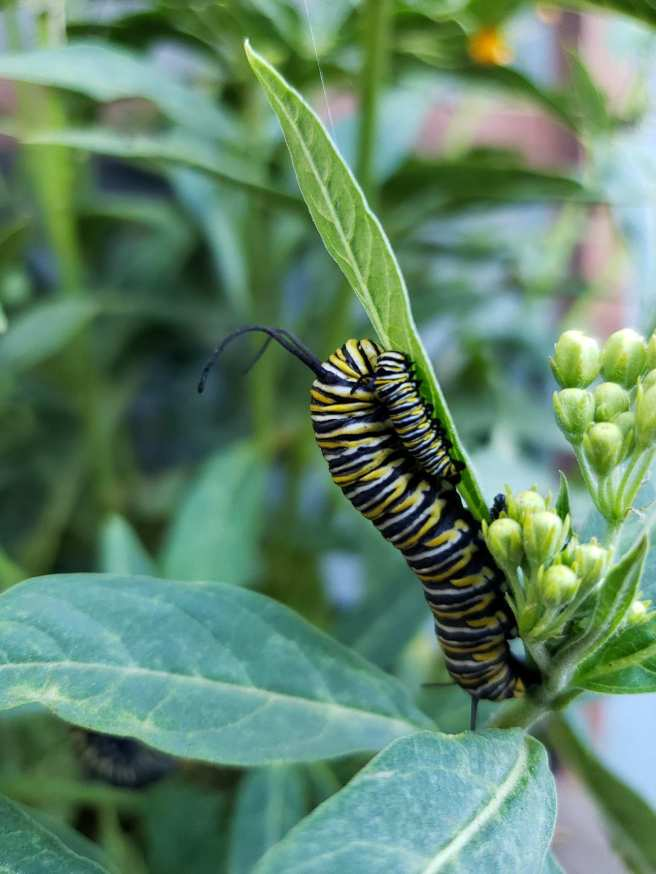 A closeup image of a milkweed plant that has two Monarch caterpillars on it sharing one leaf. One of the caterpillars is much larger than the other, about ten times its size, the large caterpillar will soon pupate into a chrysalis before it turns into a butterfly. Providing host plants for caterpillars is one way to provide wildlife habitat.