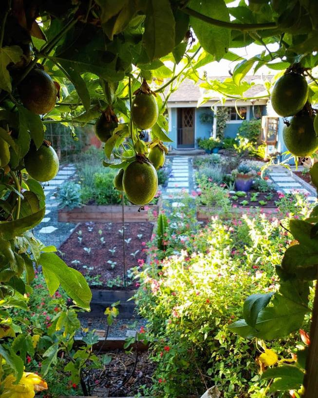The image is take between two trellises that contain passion fruit vines on each. It is framed with vines and hanging passion fruit, most of which are still green and need to ripen. What lies beyond that is a garden full of pollinator plants of all types and colors. There are also four raised wooden garden beds laid out, some have young plants inside and one has more mature plants growing in it. Beyond that there is a house with various plants on the porch and one is even attached to the wall next to the door.