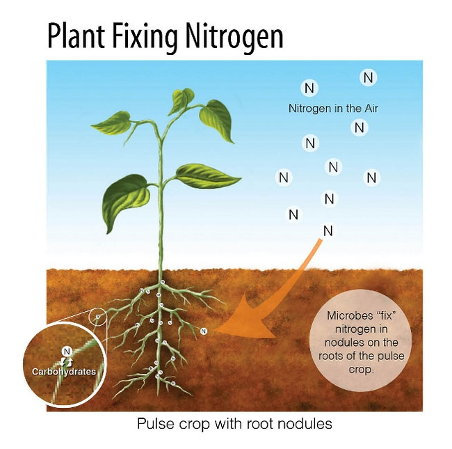 """A diagram of how a plant fixes nitrogen into the soil by absorbing it through the air. A plant is shown with its roots visible """"underground"""" in the earth and the plant growing above it. There are Nitrogen molecules shown floating in the air with an arrow pointing towards the plants roots, where nitrogen molecules are adhering to."""