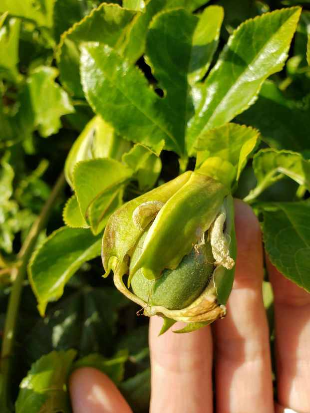 A hand is underneath a newly formed passion fruit, directing it towards the camera. The top of the fruit has lightish green leaves that are still almost fully covering the green fruit.