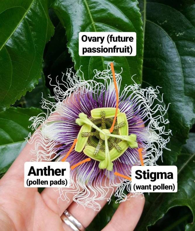 A hand is holding the underside of a passion fruit flower showing the inside of the flower. There are the three parts of the inside of the flower labelled using a paint app. The anther, stigma, and ovary are listed with a line pointing to each corresponding part. The flowers inside is yellow green with purple spots, the flower petal tendrils are purple on the inner portion and it fades into white towards the edges.