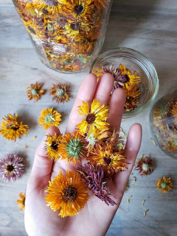 A close up image of a hand holding numerous dried calendula flowers, the are golden orange to yellow and magenta. Beneath the hand lies numerous dried calendula flowers scattered across a surface as well as three glass mason jars of various sizes which are all full of dried calendula flowers.