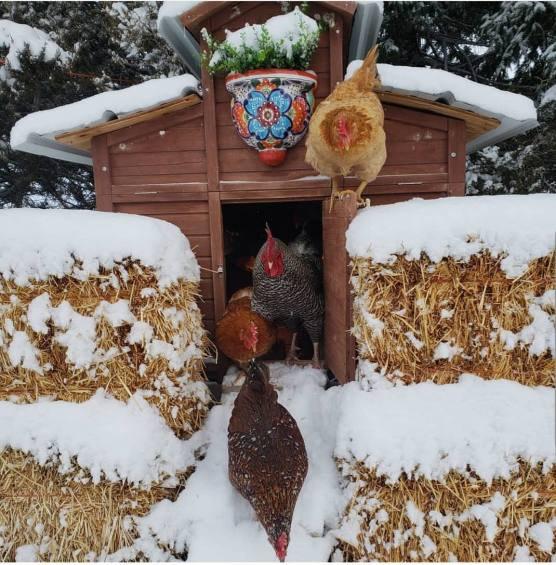 The front of a chicken coop is shown, the coop door is open and four chickens are shown exiting the coop. There are hay bales lined along the front of the coop to help insulate the structure. Snow has accumulated on the hay bales and top of the coop and one chicken is standing on the top edge of the coop door.