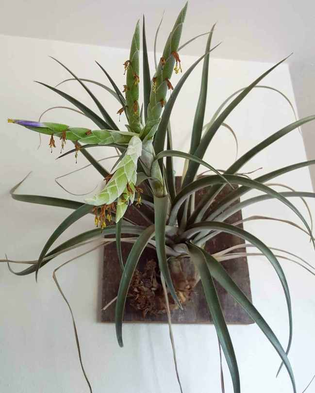 A large tillandsia air plant is shown, it has been attached to a wooden placard. The air plant has started to bloom and the flower is shooting out straight towards the camera. Once an air plant blooms it has reached its end of life but it usually sends off a new pup or baby from the original plant.
