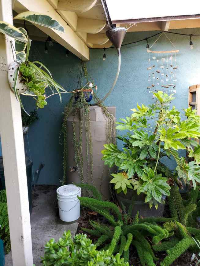 A rain water tank is shown tucked into the corner of a front porch. There is a vintage funnel that is used to catch the water underneath a valley of the roof. The funnel is connected to a large plastic pipe that is connected to the water storage tank. A rainwater collection tank of this size will fill up quickly in a good rain storm. There are many plants surrounding the water tank such as Japanese Aralia, asparagus fern, jade, along with a few others.