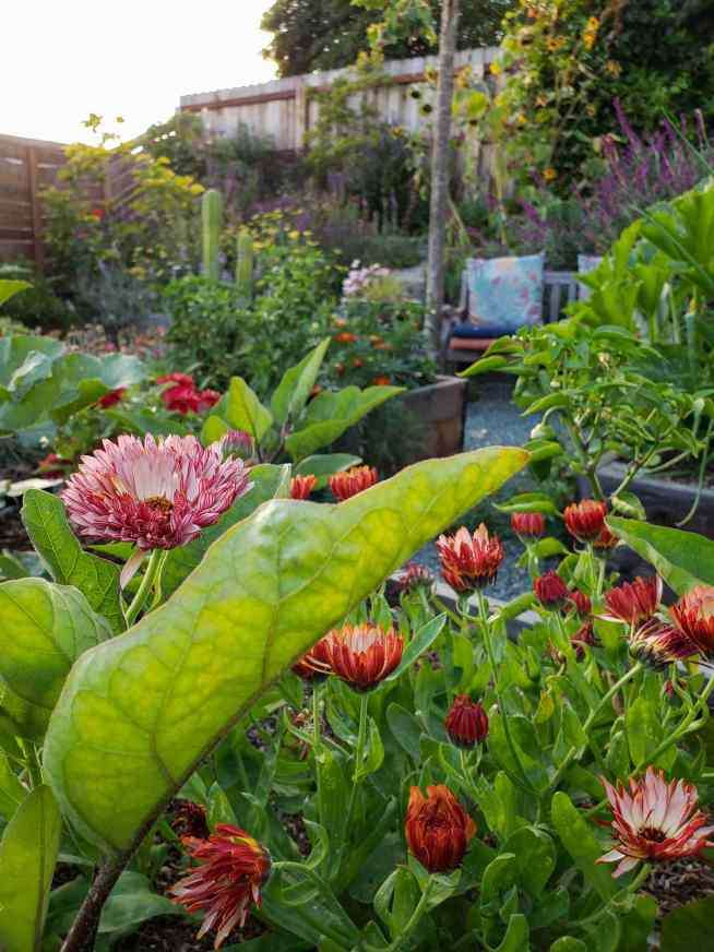 Strawberry Blonde calendula can be seen in the foreground with their many blooms. The background contains a variety of plants from peppers, to eggplant, to squash, marigolds, cacti, and sage.
