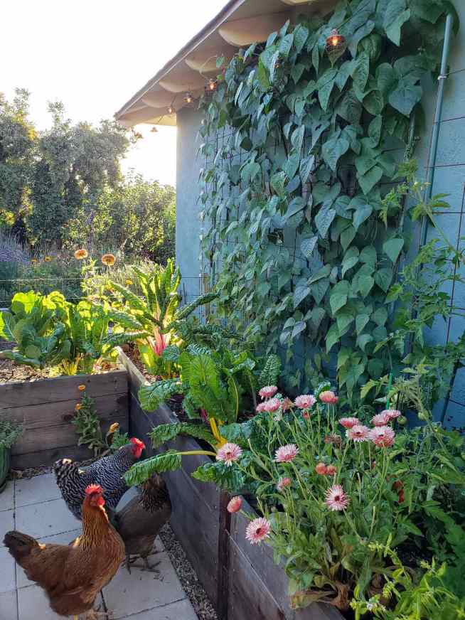 Garden beds next to a house are shown, three chickens are on the ground looking up at the vegetables emanating from the beds. There is a trellis that is covered in purple pole beans, some fruit can be seen tucked in behind the leaves.