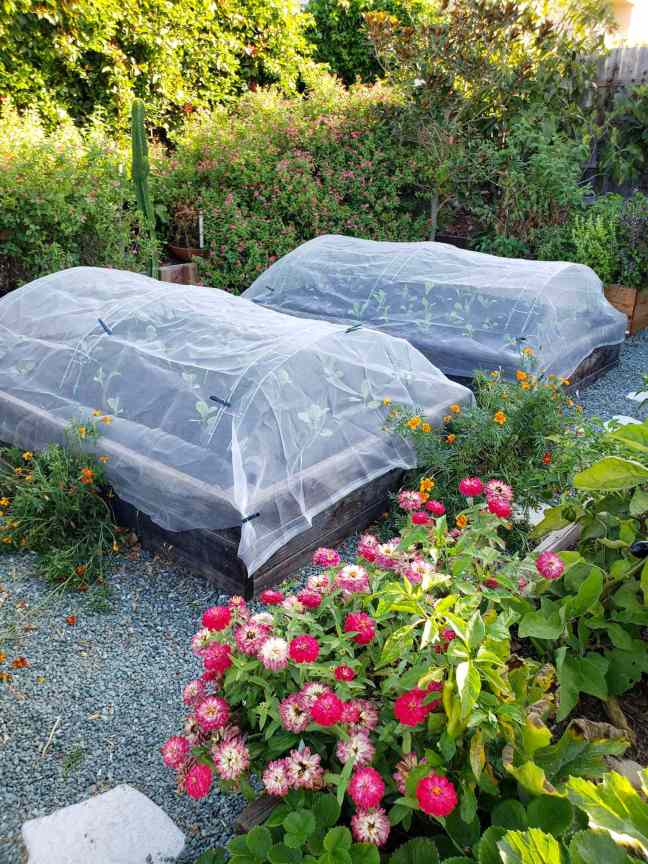 Two raised garden beds have recently been planted out with new seedlings, hoops have been installed into each of the beds so row covers can be attached to protect the seedlings from above. There are numerous flowering calendula and marigold in the vicinity and large watermelon salvia bushes growing in the background.