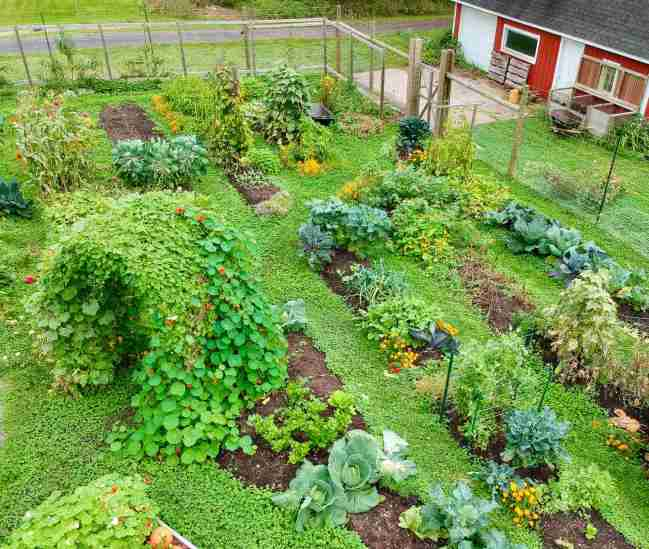 Meg's (@seedtofork) garden shown from above. It is an in-ground garden with small plots of growing areas scattered throughout an area. There are walkways between the growing spaces that are covered in ground cover. Plants range from cabbage to corn, to kale, and nasturtium.