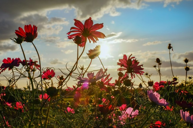 An image of a field of cosmos flowers that range in color from reddish pink to lavender purple. The setting sun is in the background sitting amongst a partially clouded blue sky.