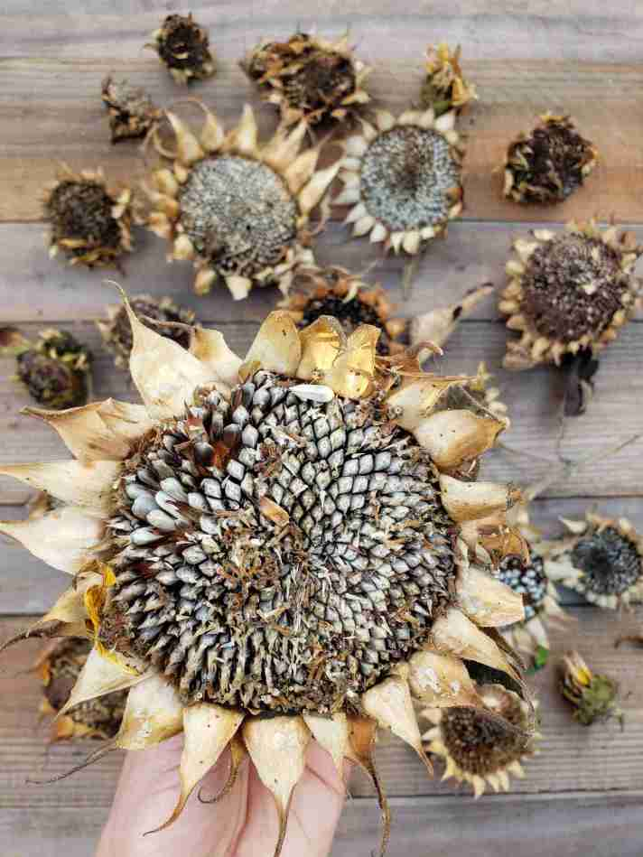 DeannaCat is holding a large dried sunflower head. A few of the seeds are  missing but they are large and plump, some of them are almost popping out of the head. In the background lay various other sized sunflower heads in various stages of drying. Save flower seeds such as sunflowers to grow for years to come and save some for the wild birds or chickens.