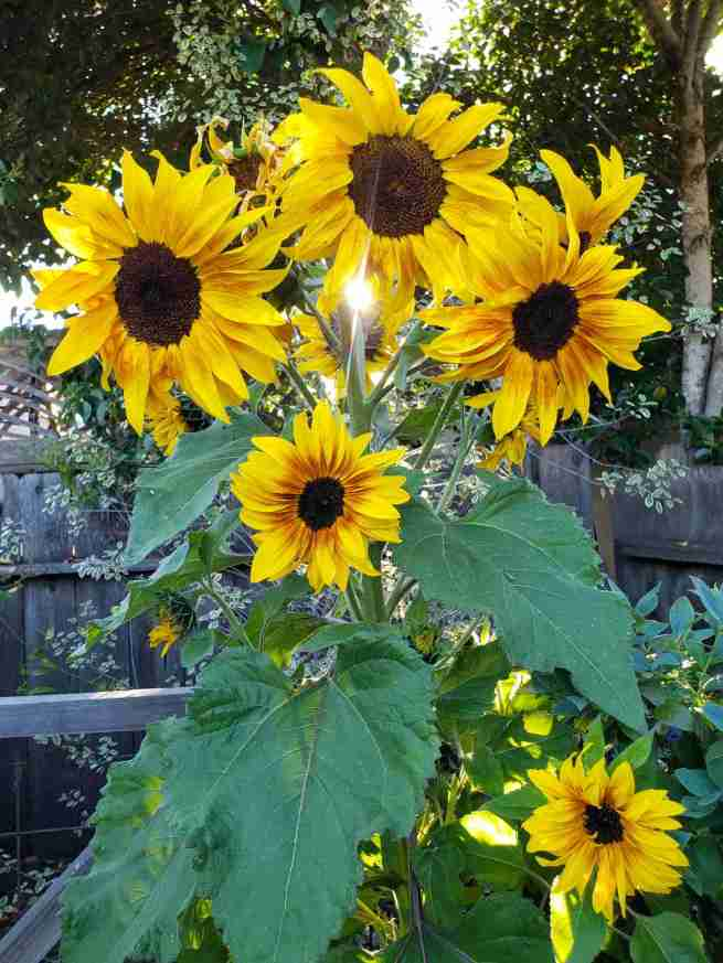 A multi headed yellow to orange hue sunflower is shown. It has large, dark green leaves and there are at least six sunflower heads at the top of the plant, the sun is shining through, right behind the largest flower.