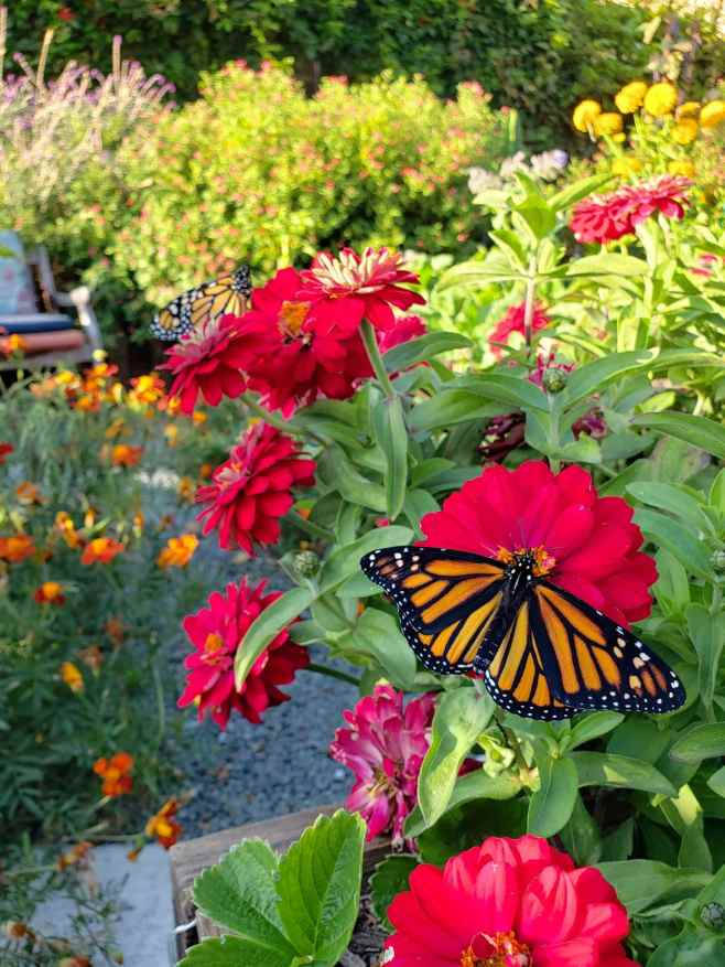 A red zinnia plant is the focus of the image, there are at least ten different blooms coming off of the same plant and there are two Monarch butterflies enjoying the nectar on two of the flowers. There are golden zinnia in the background along with salvia, sage, and marigold. Two of them being easy annual flowers.