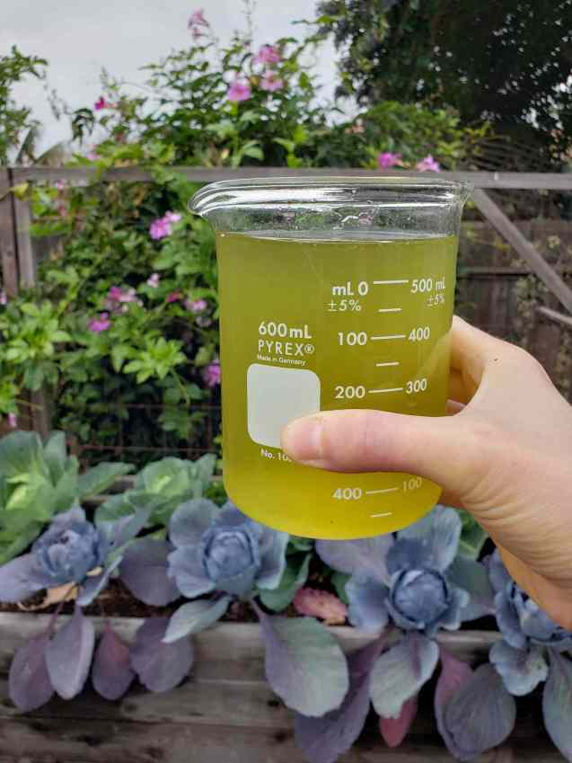 A glass measuring beaker full of dilute stinging nettle fertilizer tea. It has been diluted to one part fertilizer to ten parts water for feeding plants through a soil drench. The tea is a light green color once it has been diluted. There are green and red cabbages growing in a raised bed in the background.