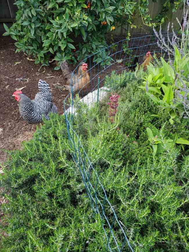 The stone raised bed is shown overflowing with herbs and perennial plant. The outside of the bed has been lined with green fencing to keep the chickens out of the bed as they are standing outside of the area looking in.