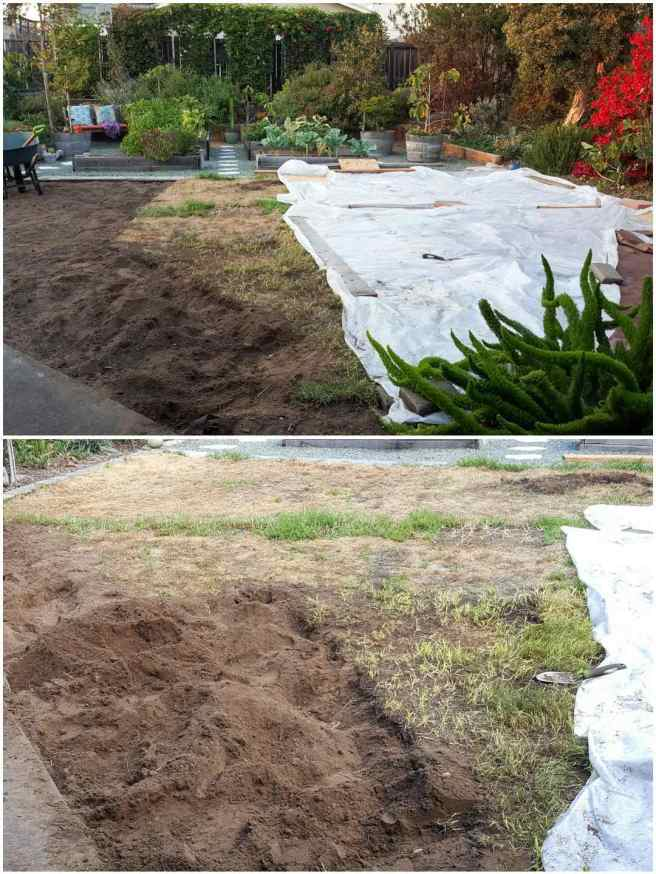 A two way image of the front yard after the solarizing attempt. The first image shows the yard after half of the plastic has been removed, the grass that is left looks to be fairly withered and brown. Part of the grass has already been removed by a shovel. The second image shows the same grass after it was solarized, much of the grass looks yellow, brown or dead but there are some green patches here and there.