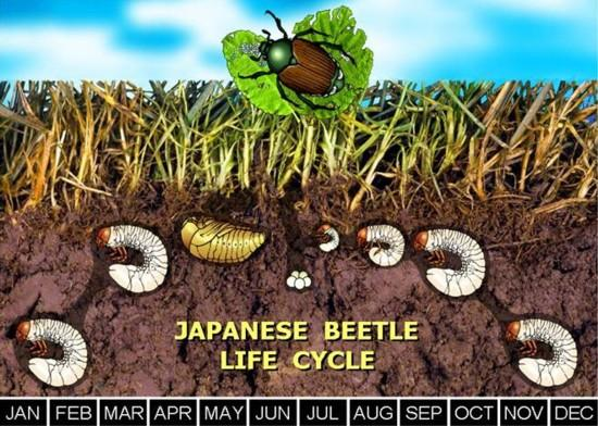 A diagram depicting the lifecycle of a Japanese beetle. It shows what stage of growth the larvae is at throughout the year. They spend the most part of a year below the soil line before emerging as a beetle. As they spend time underground, they feed on plant roots.