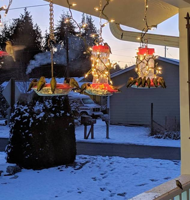 Four hummingbird feeders are shown hanging from a porch during winter. Snow is on the ground, the feeders are   wrapped in Christmas lights and there are five to ten hummingbirds feeding at each feeder. Making your own homemade hummingbird food is crucial to supplying hummingbirds with food once the weather turns for the worst and their natural food choices are limited.