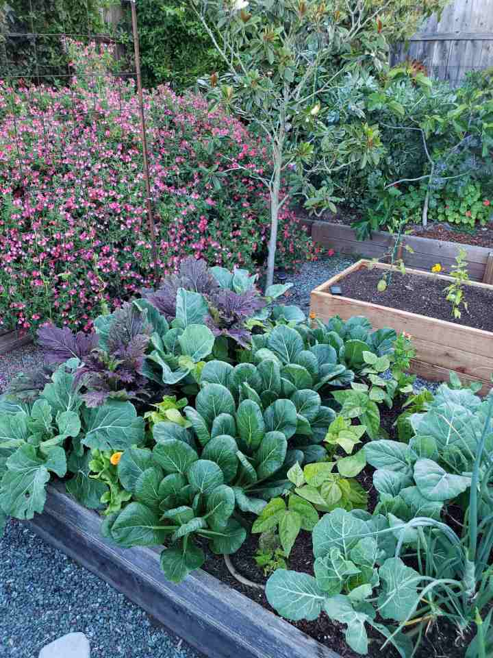 A raised garden bed with rows of mature kale, mustard greens, Asian greens, and collard greens. There are smaller rows between some of the greens that contain rows of bean plants interspersed between the greens.