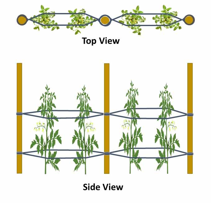 A diagram depicting the tomato training method of the Florida Weave. It shows three stakes lined up equally from each other, two tomato plants growing in between each stake with twine or rope material used to connect the stakes together, sandwiching the tomato plants in between the rope or twine material which helps keep the plants upright.