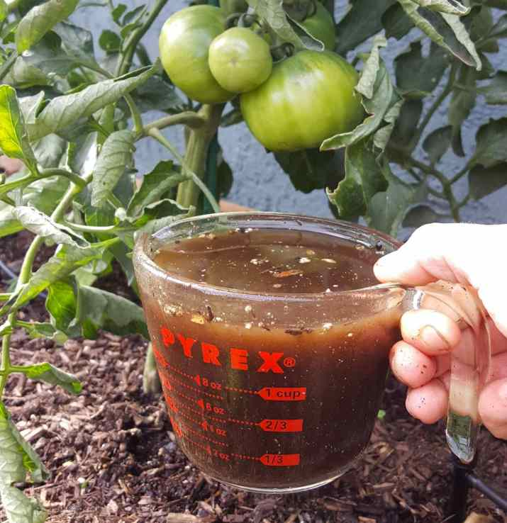 DeannaCat is holding a Pyrex liquid measuring cup with compost tea filled to the brim, well above the one cup measurement. Beyond it the base of a tomato plant with a cluster of green fruit.