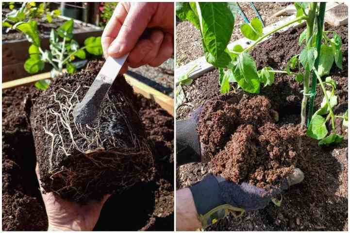 A two part image collage, the first image shows a young tomato seedling before it is transplanted outdoors. A hand is holding it by the root ball as if the plant was laying down, another hand is holding a teaspoon of mycorrhizae that will be sprinkled directly over the root ball.  The second image shows two hands holding dark, rich, and fluffy compost directly over the root zone of a newly transplanted tomato.