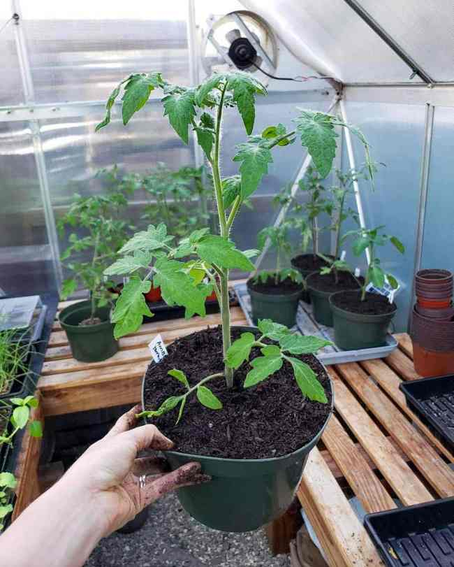 A young tomato plant is shown after it has been potted up into 8 inch nursery pots. the plant is about 18 inches tall from the soil line. The surrounding imagery is the inside of a small hobby greenhouse, there are potting benches lined around the perimeter of the inside walls and there are various tomatoes in 8 inch and 4 inch pots. Using a greenhouse is a great way to start seedlings early when you decide to grow tomatoes.