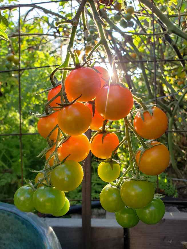 A close up image of a bunch of Sungold cherry tomatoes on the vine is shown. The sun is shining in from the background, illuminating the tomatoes to even more orange colored globes. The bottom half of the vine consists of Sungold cherry tomatoes that aren't quite ripe yet, ranging in color from dark green to lightish green yellow to fully ripe and orange at the top of the bunch. Other fruit from the plant is visible in the background although the surrounding image is out of focus compared to the featured tomatoes.