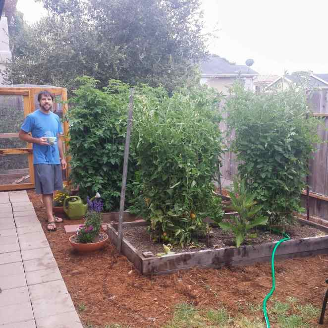 Aaron is standing amongst four mature tomato plants that are as tall as him. Some of the tomato plants are baring visibly ripe fruit while the others won't be far behind.