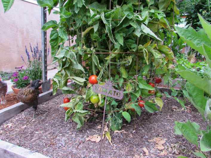 The understory of a tomato plant growing inside of a cage is shown. There are ripening red fruit amongst green fruit and a younger chicken is inspecting the plant.
