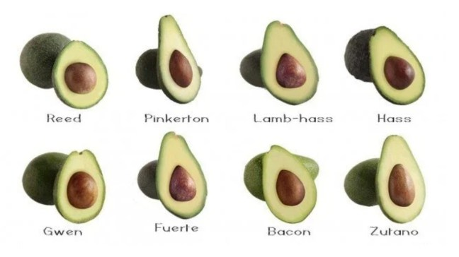 A diagram showing the cross section of eight different avocado varieties with their variety listed below. Their shape and pit to flesh ratio all vary slightly.