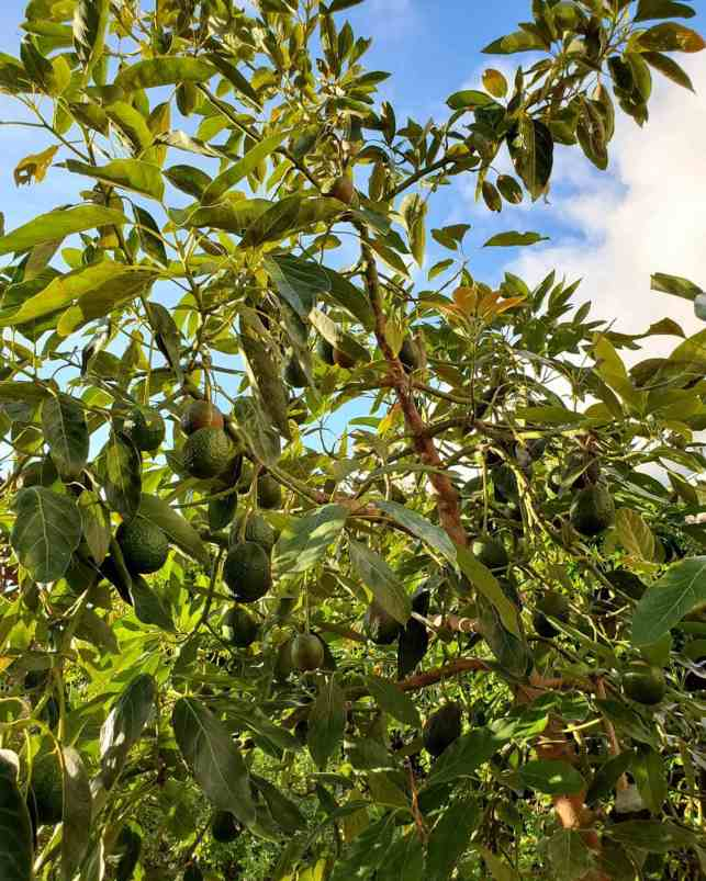 The understory of an avocado tree is shown, there are avocados hanging amongst the branches, littering the tree with fruit. When you grow avocados there is usually an abundance of fruit.