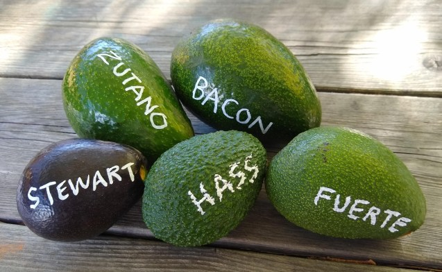 An image showing a pile of five different avocados on a table. Each avocado variety has been written on its skin with a chalk type pen. There is a Stuart, Zutano. Bacon, Hass, and Fuerte shown and labeled as such.