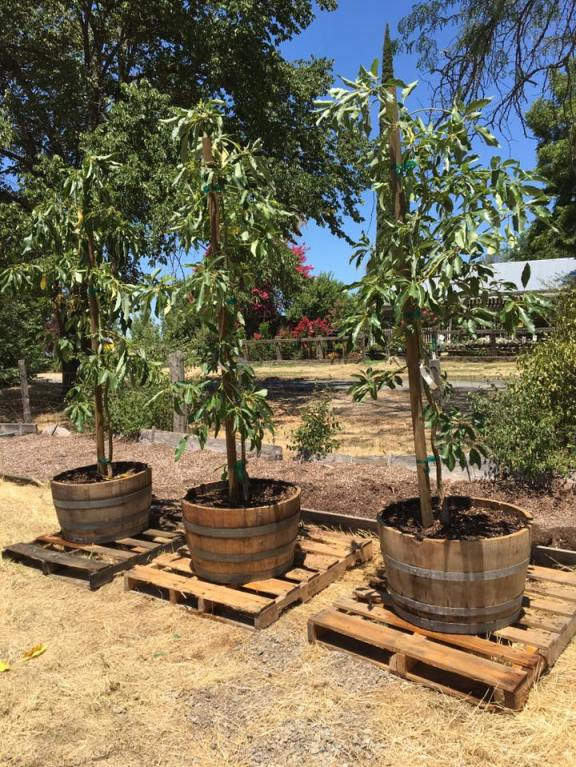 Three young avocado trees that are about 6 feet tall are shown. They have been planted in wine barrels and are each sitting on a pallet.