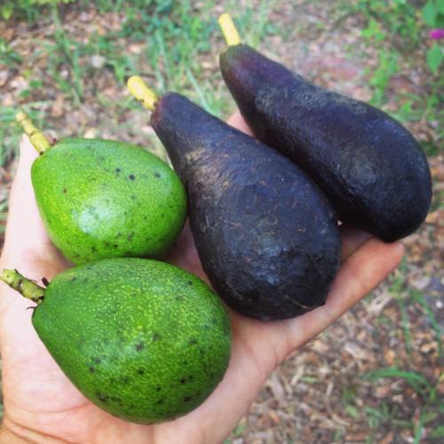 A hand is holding four smaller fruit. There are two different types, the two on the left are small, roundish and green in color while the two on the right are are longer, slender pear shape and black in color.