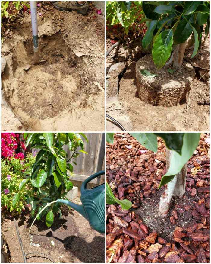 A four way image collage on planting an avocado tree. The first image shows a hole dug in the ground, the second image shows the tree and its rootball sitting inside the hole. The third image shows the tree once it has been planted and covered with dirt. A watering can is being used to water in an aloe vera soil drench. The fourth image shows the tree once it has been mulched with bark, showing not to keep bark mulched against the tree stalk itself. In a year or two this young tree should be growing avocados.