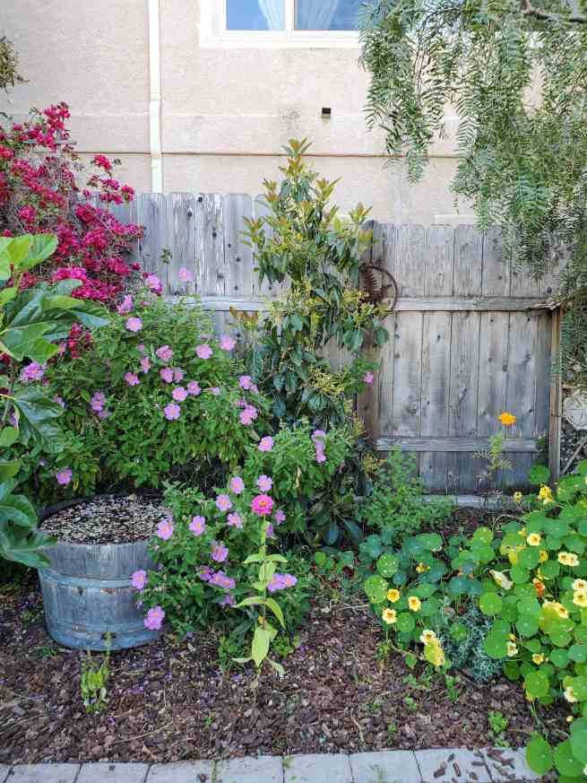 A Fuerte avocado tree is shown planted against a fence line. It has young new growth shooting upwards amongst clusters of flowers. Around the tree there is a rock rose plant,  nasturtium, and bougainvillea. You can grow avocados in a variety of spaces.