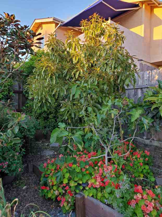 A 10 to 12 foot Hass avocado tree bathing in the evening sun. There is a neighboring house in the background while there is a Magnolia and fig tree planted around  its vicinity. There are also nasturtiums growing along the ground with many pink flowers blooming.