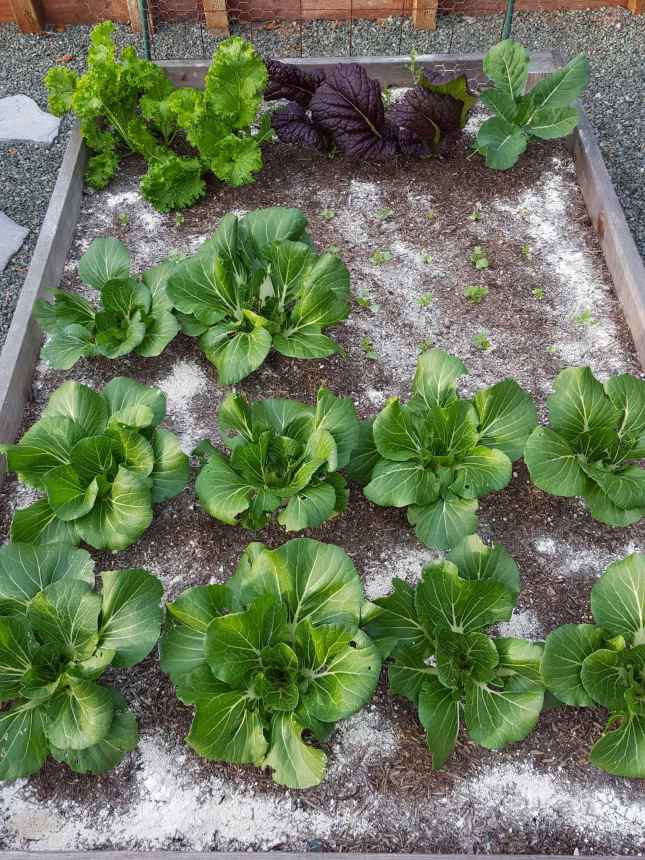 A garden bed is shown with a variety of vegetables from bok choy, to mustard greens, and tiny radish seedlings. The soil is chalky white after diatomaceous earth has been sprinkled over the surface of the soil.