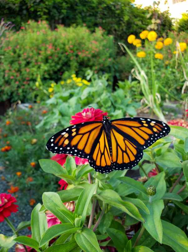 A large Monarch butterfly is featured sitting atop a red zinnia flower. The butterfly is colored a striking orange with black veins and edges that are accented by whitish dots that are dooten along its border. The background is slightly out of focus and shows a beautiful green garden with many flowering plants and vegetables.