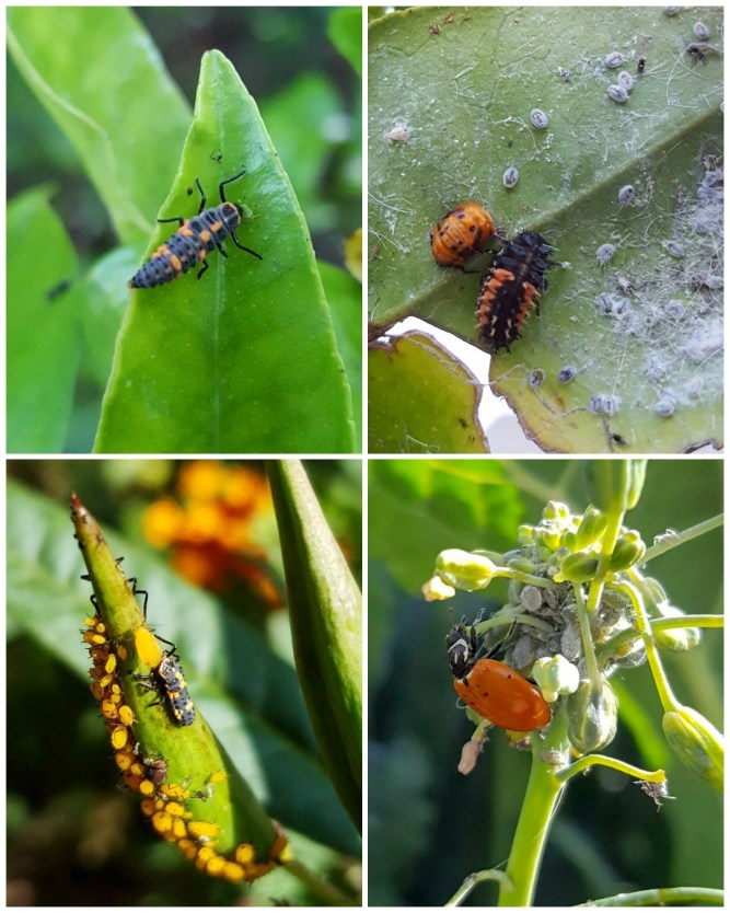 A four part image collage, the first image show a lady bug larvae on the tip of a plant leaf, the second image shows fuzzy mealybugs and aphids on the bottom of a leaf, with a black and orange ladybug larvae eating them.The third image shows a ladybug larvae eating orange aphids (garden pests) on our milkweed, the fourth image shows an adult lady bug eating grey aphids on flowering kale.