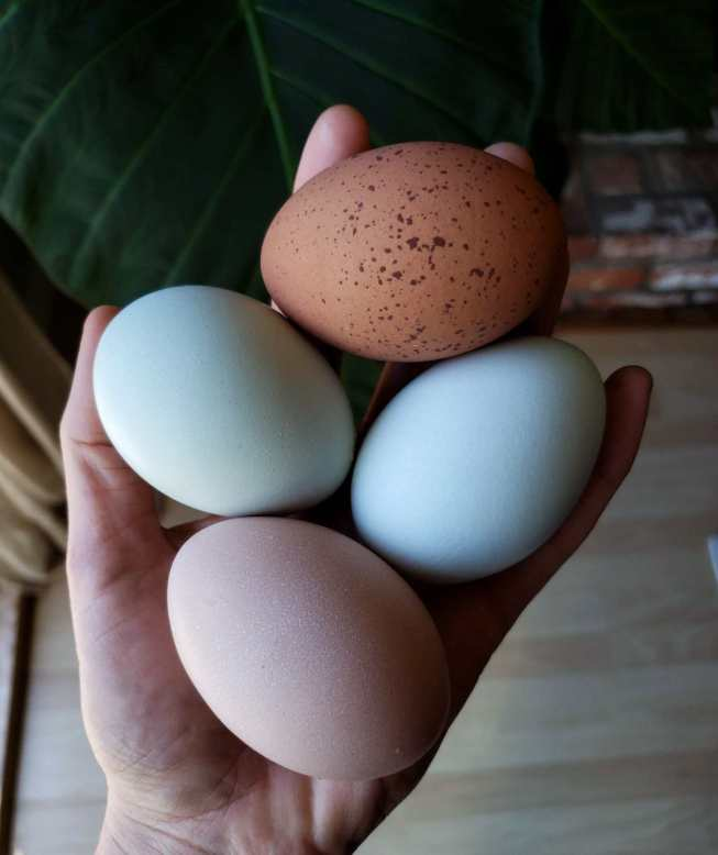DeannaCat's hand is extended while it holds four fresh chicken eggs. One is light brown, one is light green, one is dark brown with even darker brown speckles, and the last one is light blue.