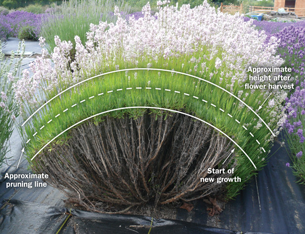 """A diagram of an English lavender plant with three white lines drawn across the width of the plant in a semi arch. The top line is labeled """"approximate height after flower harvest"""", the second line is the """"approximate pruning line"""", and the third and bottom line is the """"start of new growth""""."""