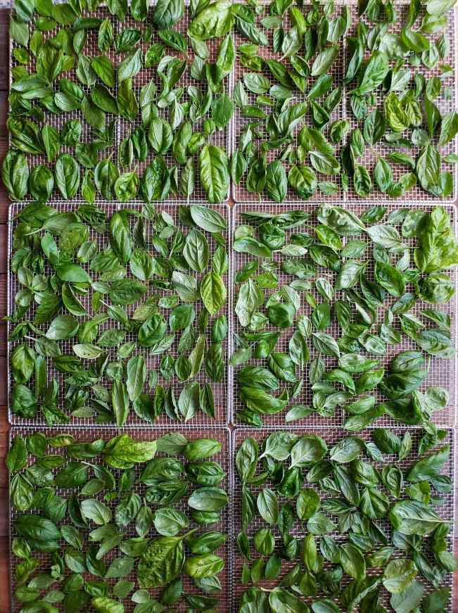Six food dehydrator drying racks are full of freshly harvest basil leaves. The leaves are fairly evenly spaced to allow for effective drying.