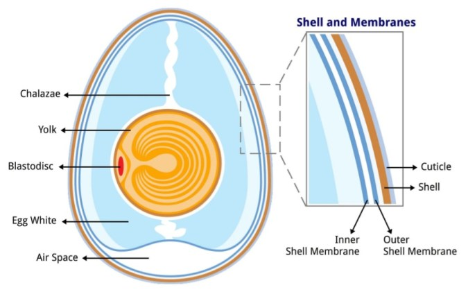 An illustrated diagram of the inside of an egg. It shows the inside of the egg and the name for each part such as the chalazae, yolk, blastodisc, egg white, and air space. There is also a magnified area to the right which is showing the shell and membranes and the name for each. There is the cuticle, the shell, the outer shell membrane, and inner shell membrane.