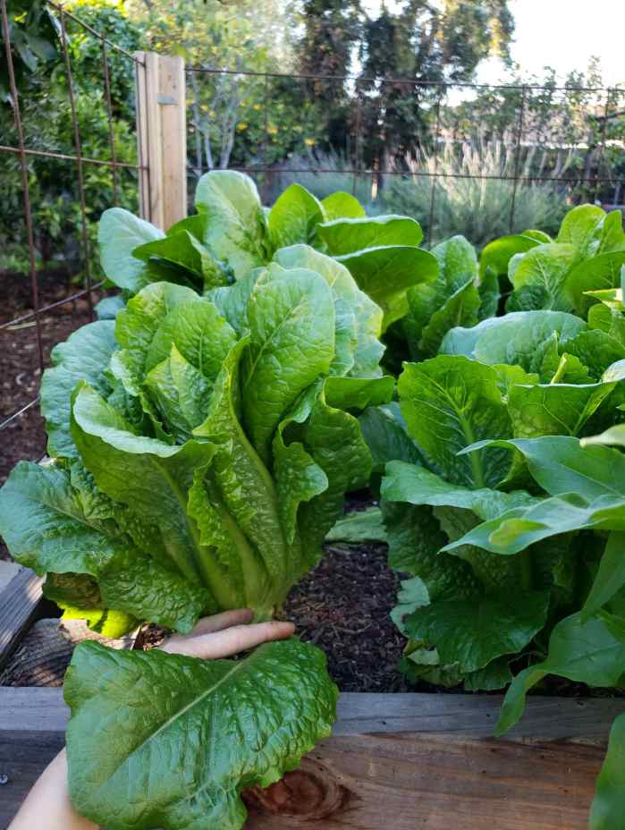 A raised garden bed full of many plants of romaine lettuce that is quite full in growth. DeannaCat is pulling one of the leaves downwards at the base to harvest. In the background there are various trees and lavender bushes.