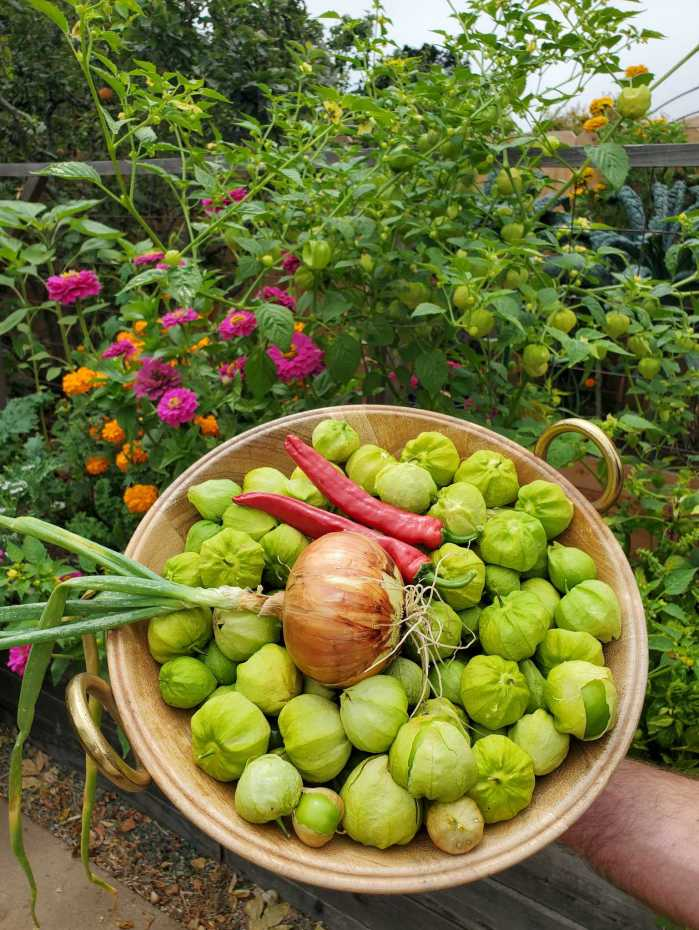 A hand is holding a large wooden bowl with gold handles, the bowl is full of freshly harvested tomatillos, two red chili peppers, and a yellow onion with its greens and roots still attached. These are some of the ingredients for roasted tomatillo salsa verde. Beyond the bowl of harvested produce is a garden bed with tomatillo plants, kale, pink zinnia, and marigolds.